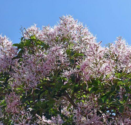 Cape Chestnut, Kirstenbosch Botanical Garden - Capetown