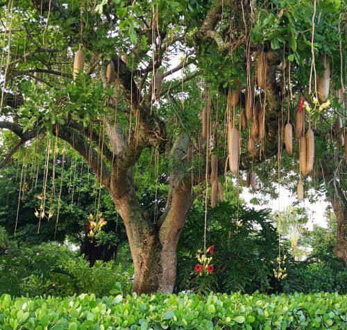 Sausage Tree Growing At Park